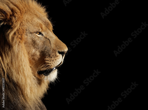 Fotobehang Leeuw Male African lion on black