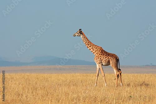 Fotobehang Giraffe Masai giraffe, Masai Mara National Reserve