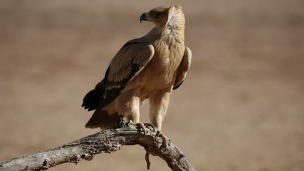 A tawny eagle perched on branch, Kalahari desert