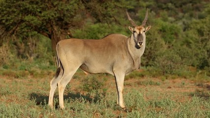 Young male eland antelope, Mokala National Park