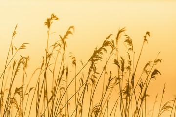 Reed in backlight morning light