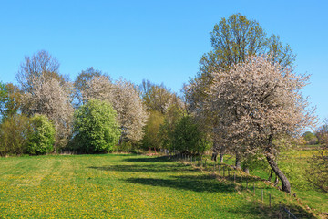 Cherry trees in bloom at the meadow