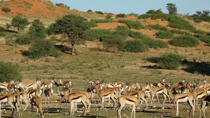 Springbok antelopes at a waterhole, Kalahari desert