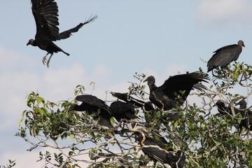 Black vulture in the Department of Guaviare