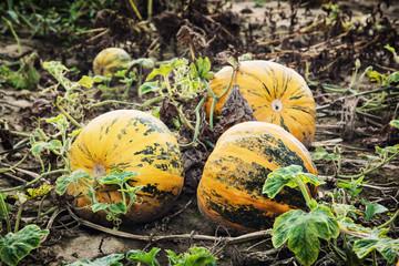 Yellow ripe pumpkins in the field