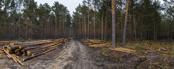 Cut down thick forest panorama