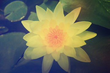 yellow lily in pond