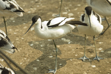 avocet warms in the sun in the park