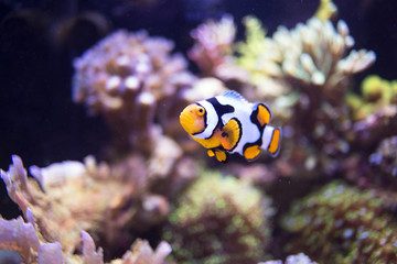 nemo fish among coral