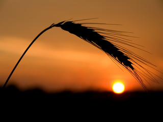 silhouette of wheat spikelets at sunset