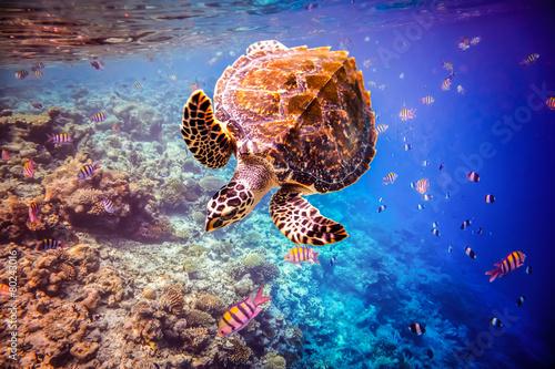 Hawksbill Turtle - Eretmochelys imbricata - 80243016