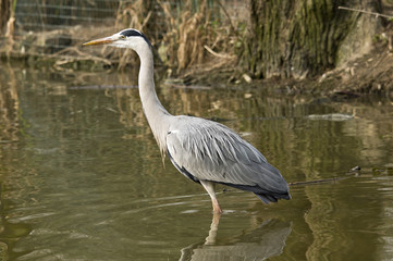 Grey Heron on the side of a lake