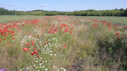 flying over the green field with red Poppy flowers