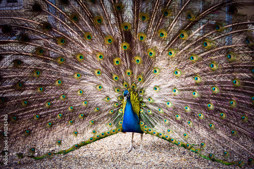 The peacock spreads its magnificent tail.
