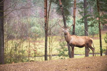 Powerful adult red deer stag in natural environment autumn fall