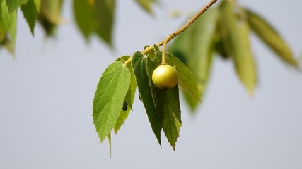 Jamaican cherry fruit on the tree with the gently wind