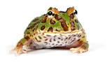 frog pacman(ceratophrys ornata) poster