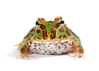 frog pacman(ceratophrys ornata)