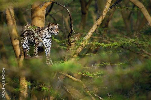 Foto op Canvas Antilope leopard