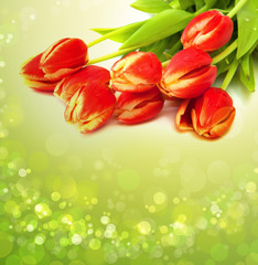 Red tulips  isolated on green  background.