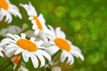 White daisy flowers .