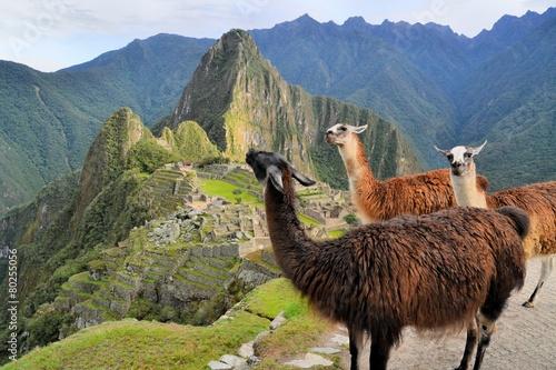 Llamas at Machu Picchu, lost Inca city in the Andes, Peru - 80255056