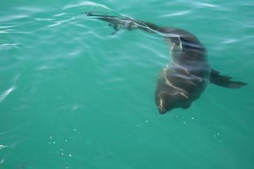 circling shark
