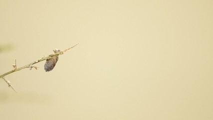 dragonfly is flying and returning on twig with dragonfly exuvia