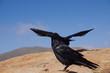 Rabe auf Fuerteventura 4