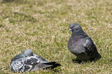 Rock feral pigeon doves resting on winter grass park meadow poster