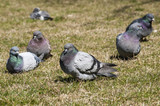 Rock feral pigeon dove resting on winter green grass park meadow poster
