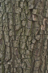 Pear tree bark