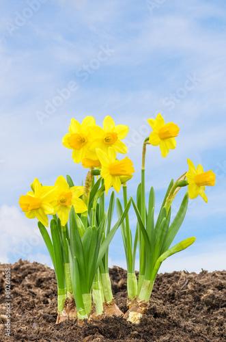 In de dag Narcis Narzissen