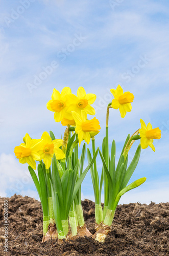 Keuken foto achterwand Narcis Narzissen