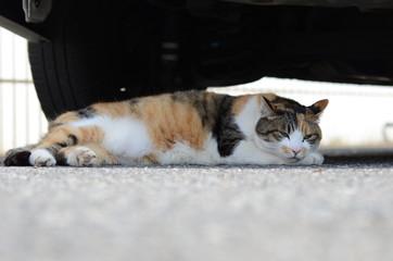 日向ぼっこ中のネコ