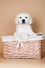adorable puppy in a basket