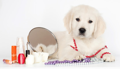 golden retriever puppy with make up and mirror