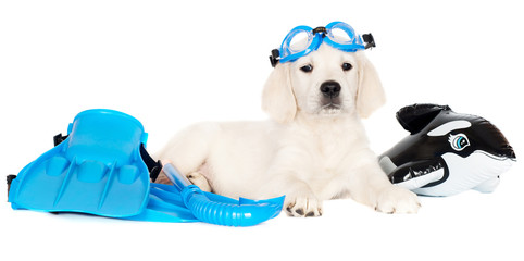 golden retriever puppy with snorkel equipment