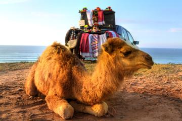 Dromedare liegen im Sand der Wüste von Marokko