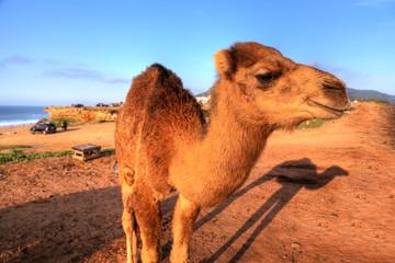 Dromedare stehen im Sand der Wüste von Marokko