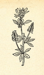 Alfalfa or lucerne (Medicago sativa)