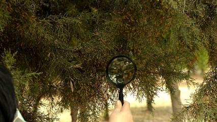 Botanist checking cedar tree foliage