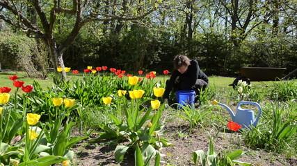 woman look after tulip flower beds in spring garden.