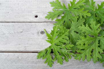 SCENTED GERANIUMS leaves natural mosquitoes repellent on a woode