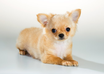 Puppy Chihuahua on a white background
