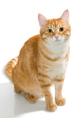 Beautiful orange cat