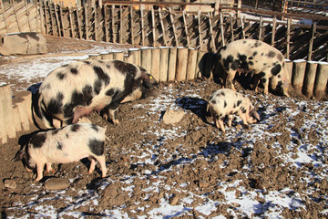 Domestic pigs in shelter