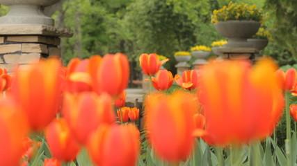 Botanical garden tulip flowers in spring