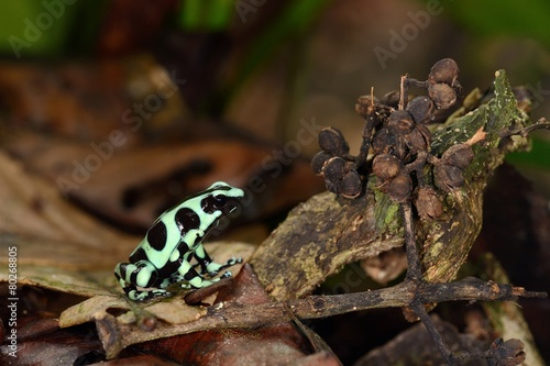 Poster Kikker Black and green Dart frog
