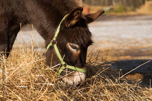 Poster Ezel The donkey on a farmstead eats a grass